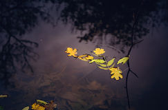 The leaves on the water Royalty Free Stock Images