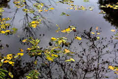 The leaves on the water  Royalty Free Stock Photos