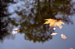 Leaves on water. Fallen leaves of maple and oak floating in the dark water Royalty Free Stock Photography