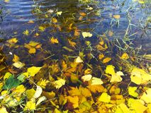 Leaves on water Royalty Free Stock Photo