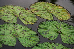 Leaves of water lilies in a pond. Close-up. Royalty Free Stock Photo