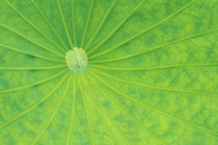 Leaves of water lily Stock Photography