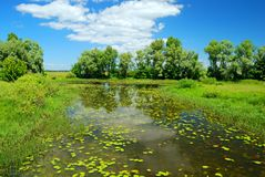 Leaves of water lily and green trees. In summer day Stock Photography