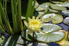 Leaves of the water lily. Swim in the pond / water lilies Royalty Free Stock Photography
