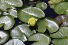 Leaves of the water lily. Swim in the pond / water lilies Stock Photos