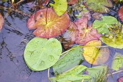 Leaves of water-lily on-the-spot water. Varicoloured leaves of water-lily with drops of water Stock Photography