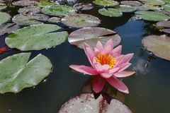 Leaves of the water lily swim in the pond. / water lilies Stock Images