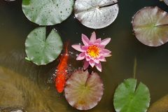 Leaves of the water lily swim in the pond. / water lilies Stock Image