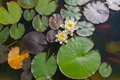 Leaves of the water lily swim in the pond. / water lilies Royalty Free Stock Photo