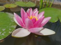 Leaves of the water lily swim in the pond. / water lilies Royalty Free Stock Photography
