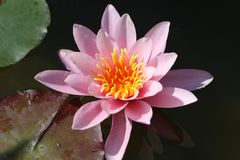 Leaves of the water lily swim in the pond. / water lilies Stock Photo