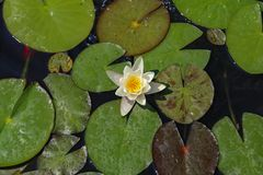 Leaves of the water lily swim in the pond. / water lilies Royalty Free Stock Images