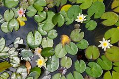 Leaves of the water lily. Swim in the pond / water lilies Stock Images