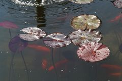 Leaves of the water lily. Swim in the pond / water lilies Royalty Free Stock Photo