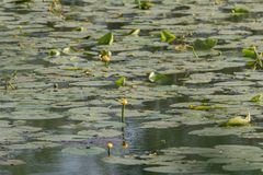 Leaves Water Lily Swim Pond Water Lilies. Green round leaves with water lilies on lake stock images