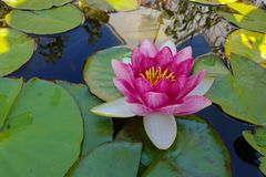 Leaves of the water lily. Swim in the pond / water lilies Royalty Free Stock Images