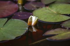 Leaves of the water lily swim in the pond. / water lilies Royalty Free Stock Photos