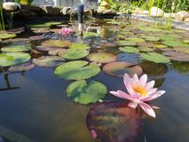 Leaves of the water lily swim in the pond. / water lilies Royalty Free Stock Image