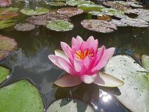 Leaves of the water lily swim in the pond. / water lilies Stock Photography