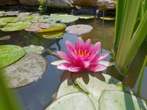 Leaves of the water lily swim in the pond. / water lilies Stock Photos