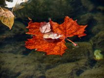 Leaves in water. Orange leaves floating freely Royalty Free Stock Images