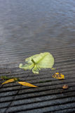 Leaves at the water's edge. Stock Images
