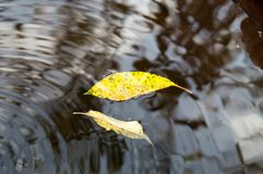 Leaves in water. Yellow leaves in black water in autumn Royalty Free Stock Image