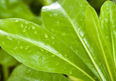 Leaves and waterdrops. Nice green leaves with waterdrops from the morning dew Stock Photography