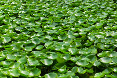 Leaves of the waterlily on water surface Stock Images