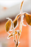 Leaves of weigel with white hoarfrost, backlit Stock Images