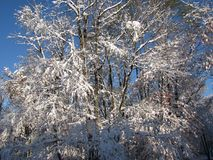 Early snowstorm covers remaining leaves on the trees. Leaves were still on the hardwood trees, when an early snowstorm covered everything in white, while Royalty Free Stock Photography