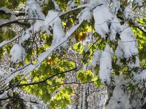 Early snowstorm covers remaining leaves on the trees. Leaves were still on the hardwood trees, when an early snowstorm covered everything in white, while Royalty Free Stock Photo