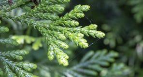 Leaves of Western redcedar (Thuja plicata) tree stock image