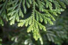 Leaves of Western redcedar (Thuja plicata) tree royalty free stock image