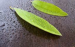 Leaves on wet  black wenge Royalty Free Stock Image