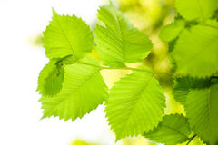 Leaves on white Royalty Free Stock Photos