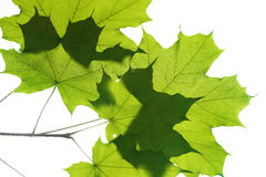 Leaves on white Royalty Free Stock Photography