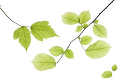 Leaves on white Royalty Free Stock Image