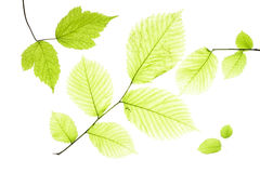 Leaves on white Stock Images