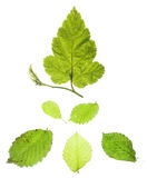 Leaves on white Royalty Free Stock Photo