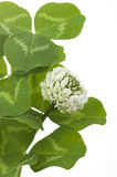 Leaves and white flower of clover Royalty Free Stock Photo