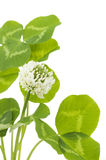 Leaves and white flower of clover Stock Photos
