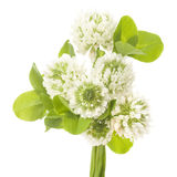 Leaves and white flowers of clover Royalty Free Stock Photography