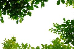 Tropical tree leaves with branches on white isolated background for green foliage backdrop. Leaves white isolated background green foliage backdrop leaf asia royalty free stock photography