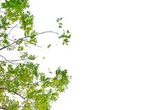 Tropical plant leaves on white isolated background for green foliage backdrop royalty free stock images