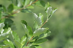 Leaves of whitebeam. Sorbus aria Stock Photo