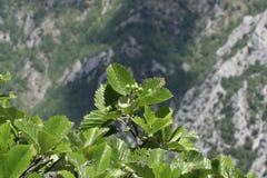 Leaves of whitebeam. Sorbus aria Stock Images