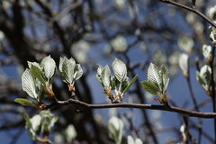 Leaves of whitebeam in spring. Sorbus aria Royalty Free Stock Image