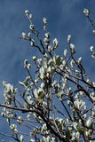Leaves of whitebeam in spring. Sorbus aria Stock Images