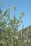 Leaves of whitebeam in spring. Sorbus aria Stock Photo